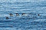 South Shetland-2016-Deception Island–Chinstrap penguin (Pygoscelis antarctica) 03.jpg
