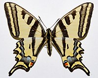 Southern Swallowtail (Papilio alexanor orientalis) (8350766670).jpg