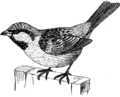 Sparrow (PSF).png