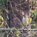 Sparrow spotted in Home Garden Hyderabad.jpg