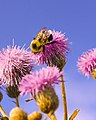 Spear thistle and a Bumblebee sitting on it.jpg