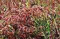 Sphagnum magellanicum 041107a.jpg