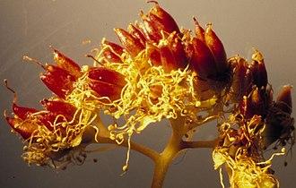 Spiraea - Spiraea betulifolia