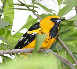 Spot-breasted Oriole .jpg