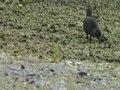 File:Spotless Crake94.ogv