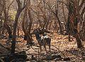 Spotted Deer (Chital).jpg