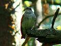 Spotted Flycatcher-Mindaugas Urbonas-1.jpg