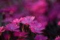Spring-dianthus-burning-witch-flower - West Virginia - ForestWander.jpg