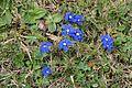 Spring gentian - Gentiana verna - panoramio (4).jpg