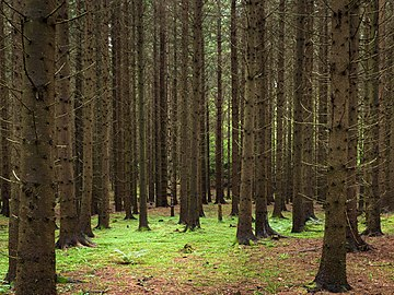 Spruce forest at Holma.jpg