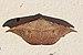 Spurge spanworm moth (Oxydia vesulia).jpg