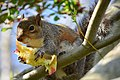 Squirrel in tree eating an apple near the Ceramic and Metal Arts Building, University of Washington - 06.jpg