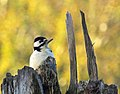 Större Hackspett Great Spotted Woodpecker (15582285607).jpg