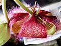 Stapelia flower 06.jpg