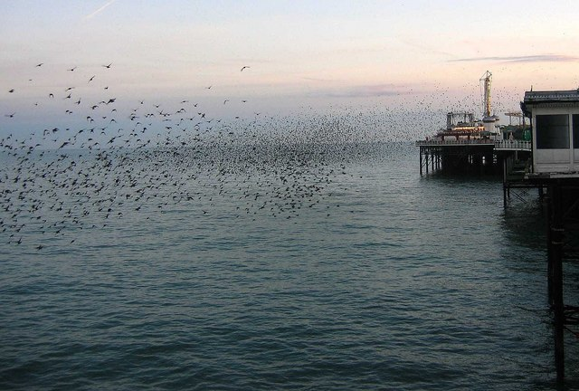 Starlings come to roost - geograph.org.uk - 1534457