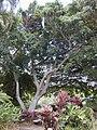 Starr-010420-0124-Ficus benjamina-habit-Kahului-Maui (24532339765).jpg