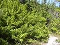 Starr-031108-0047-Schinus terebinthifolius-habit-Lido Beach-Florida (24046180904).jpg
