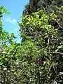 Starr-050419-0421-Psidium guajava-habit-Mokolii-Oahu (24450558960).jpg