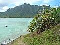 Starr-050419-0461-Terminalia catappa-habit-Mokolii-Oahu (24450597700).jpg