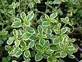 Starr-070906-8846-Thymus citriodorus-leaves-Kula Ace Hardware and Nursery-Maui (24263987574).jpg