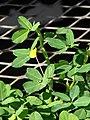 Starr-080103-1334-Arachis pintoi-flowering habit-Lowes Garden Center Kahului-Maui (24272671053).jpg