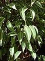 Starr-080117-1796-Ficus benjamina-leaves-Walmart Kahului-Maui (24875879416).jpg