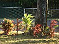 Starr-080328-3929-Cordyline fruticosa-habit-Makawao-Maui (24611238240).jpg