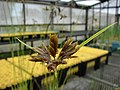 Starr-080608-7395-Cyperus polystachyos-seedheads-FWS Greenhouse Sand Island-Midway Atoll (24889815956).jpg