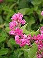 Starr-090417-6180-Antigonon leptopus-flowers and leaves-Pukalani-Maui (24325409313).jpg