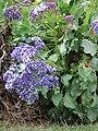 Starr-090421-6307-Limonium arborescens-flowering habit-Pukalani-Maui (24834492292).jpg