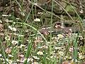 Starr-090513-7557-Erigeron karvinskianus-flowers-Polipoli-Maui (24954716465).jpg
