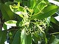 Starr-090610-0474-Pimenta dioica-leaves and flowers-Haiku-Maui (24963632985).jpg