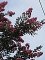 Starr-090623-1426-Lagerstroemia indica-flowers and leaves-Nahiku-Maui (24848510742).jpg