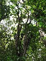 Starr-090623-1464-Adenanthera pavonina-canopy-Nahiku-Maui (24848619682).jpg