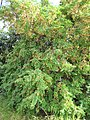 Starr-090720-2967-Tamarindus indica-flowering habit-Waiehu-Maui (24851998402).jpg