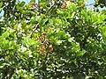 Starr-090721-3260-Cupaniopsis anacardioides-leaves and fruit-Wailuku-Maui (24343630853).jpg
