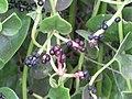 Starr-090806-3816-Basella alba-fruit and leaves-Wailuku-Maui (24971363025).jpg