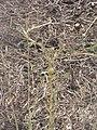 Starr-090814-4296-Lactuca sativa-habit-Mokulele Hwy-Maui (24854214242).jpg