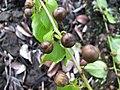 Starr-091104-0704-Colubrina asiatica-fruit-Kahanu Gardens NTBG Kaeleku Hana-Maui (24987287275).jpg
