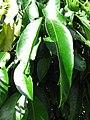 Starr-091104-0886-Garcinia xanthochymus-leaves-Kahanu Gardens NTBG Kaeleku Hana-Maui (24357181784).jpg