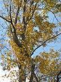 Starr-110209-0960-Carya illinoinensis-habit fall colors-MISC Piiholo-Maui (24444394604).jpg