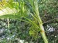 Starr-110330-3829-Chrysalidocarpus lutescens-frond and flowers-Garden of Eden Keanae-Maui (24453931363).jpg