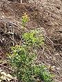 Starr-110411-5014-Myrciaria cauliflora-plantings in gulch-Hawea Pl Olinda-Maui (25082186655).jpg