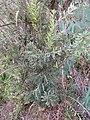 Starr-110609-6131-Banksia marginata-habit-Shibuya Farm Kula-Maui (24801178500).jpg