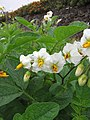 Starr-120620-7465-Solanum tuberosum-flowers-Kula Agriculture Station-Maui (24850067710).jpg