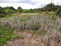 Starr-130703-5559-Cyperus laevigatus-patch-Kealia Pond-Maui (25193054526).jpg