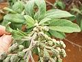 Starr-131218-2913-Pluchea carolinensis-flowers with Acinia picturata sourbush seedfly-Moaulanui-Kahoolawe (24933170750).jpg