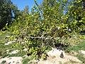 Starr-150326-0723-Citrus meyeri-fruiting habit with Laysan Albatrosses-Citrus Grove Town Sand Island-Midway Atoll (24636148334).jpg