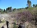 Starr-170304-0315-Rubus niveus-tangle view mauka toward road-Lower Waiohuli Trail Polipoli-Maui (33342109256).jpg