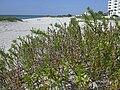 Starr 031108-0306 Ipomoea pes-caprae subsp. brasiliensis.jpg